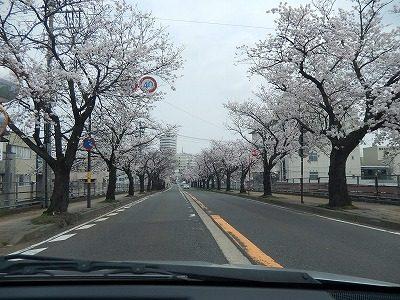 2018.4.2 さくら通りの桜3