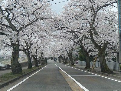 2018.4.2 旧三秀プール前の桜4