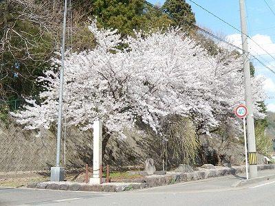 2018.4.3 おおぞら近くの桜31