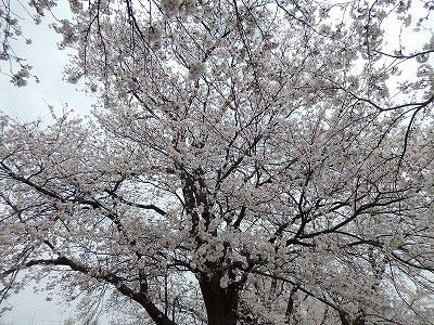 2018.4.2 足羽川の桜14
