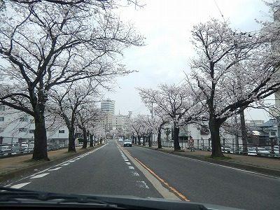 2018.4.2 さくら通りの桜4